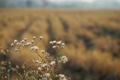Dry brown grass flower field, weed plant closeup. Copy space warm tone light morning white floral petal background crop meadow garden outdoor backyard country stock photo