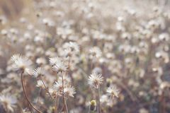 Dry brown grass flower field, weed plant closeup. Copy space warm tone light morning white floral petal background crop meadow garden outdoor backyard country stock images