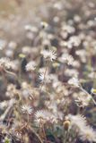 Dry brown grass flower field, weed plant closeup. Copy space, warm, tone, light, morning, white, floral, petal, background, crop, meadow, garden, outdoor royalty free stock photography