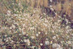 Dry brown grass flower field, weed plant closeup. Copy space warm tone light morning white floral petal background crop meadow garden outdoor backyard country stock photos