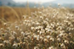 Dry brown grass flower field, weed plant closeup. Nature flower, copy space stock image