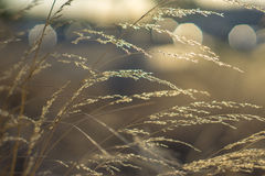 Dry brown grass with sun light. Dry brown grass straws with sun light and blurry background and nice bokeh Royalty Free Stock Images