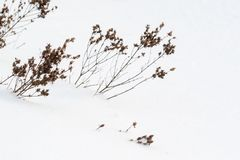 Dry brown grass in white snow. Dry plants appear through loose snow.  stock images