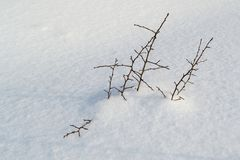 Dry brown grass in white snow. Dry plants appear through loose snow.  royalty free stock image