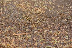 Dry brown leaf. Close up dry brown leaf covered on the ground Royalty Free Stock Image