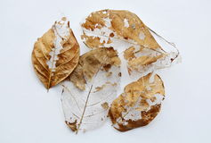 Dry brown leaf decompose structure on white background Royalty Free Stock Image