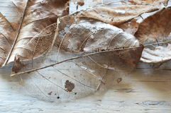 Dry brown leaf decompose structure on wooden board Royalty Free Stock Photo