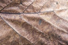 Dry brown leaf texture background. Closeup Brown leaf texture background. Macro top view of dry textured foliage. Organic and natural pattern royalty free stock photo