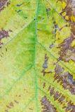 Dry brown leaf texture Royalty Free Stock Photo