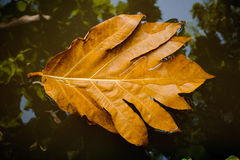 Dry brown leaf on water. Royalty Free Stock Photos