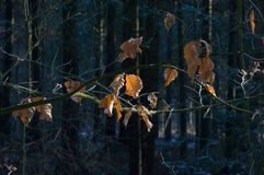 Dry brown leaves Royalty Free Stock Photos