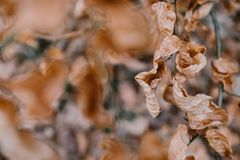 Dry Brown Leaves on a Branch. Dry Brown Leaves attached to a Branch in Autumn Winter Royalty Free Stock Photos