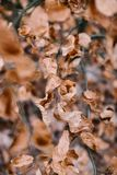Dry Brown Leaves on a Branch. Dry Brown Leaves attached to a Branch in Autumn Winter Stock Photos