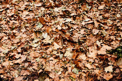 Dry brown leaves pile on ground. Dry brown leaves that fell of trees in the fall autumn royalty free stock photos