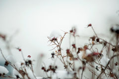 Dry brown leaves on a tree branch in snow close-up photo Stock Photos
