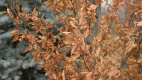 Dry brown leaves on tree moving in wind. stock video footage