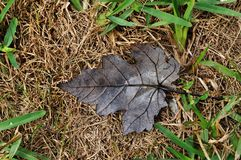 Dry Brown Maple Leaf Stock Photo