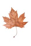 Dry Maple Leaf. Dry brown Maple leaf symbolising autumn, fall or winter isolated on white background Royalty Free Stock Image