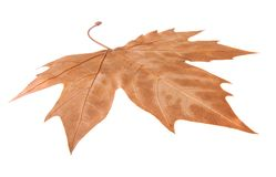 Maple leaf isolated on white. Dry brown Maple leaf symbolising autumn, fall or winter isolated on white background Royalty Free Stock Images