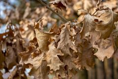 Dry brown oak leaves in autumn forest. Withered foliage. Nature closeup. Dead leaf. Tree detail. Melancholy and splin concept. Beautiful park and landscape Stock Photos
