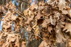 Dry brown oak leaves in autumn forest. Withered foliage. Nature closeup. Dead leaf. Tree detail. Melancholy and splin concept. Beautiful park and landscape Royalty Free Stock Images