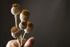 Dry brown poppy in hand, seasoning on a black background royalty free stock photography