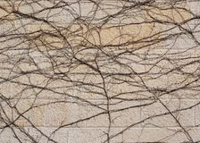 Dry brown vine on beige stone wall texture Royalty Free Stock Photography