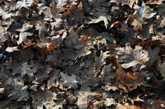 Dry brown winter leaves Stock Photos