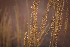 Dry brunches in autumn or winter, close up, natural foto.  royalty free stock photo