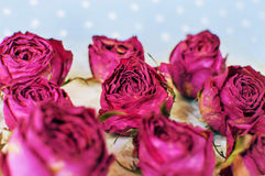 Dry buds of a red roses flower on blurred light blue background Stock Photos