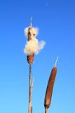 Dry bulrush Stock Photos