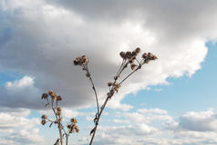Dry burdock against the sky Stock Photos