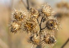 Dry burdock bush stock image