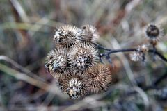 Dry burdock flowers in late autumn close up. Photo stock images