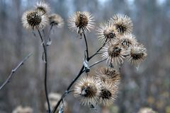 Dry burdock flowers in late autumn close up. Photo royalty free stock photography