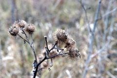 Dry burdock flowers in late autumn close up. Photo stock photography