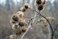 Dry burdock flowers in late autumn close up. Photo royalty free stock image