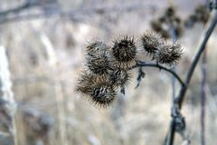 Dry burdock flowers in late autumn close up royalty free stock photo