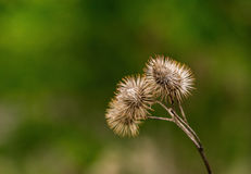 Dry Burdock. Three prickly dry burrs on a dead stem Stock Image
