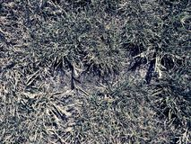 Dry burnt dead grass on hard dry clay, natural background. Dry brown green carpet stock image
