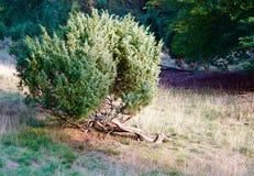 Dry bush in the german heathland Stock Photos