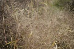 Dry bush of grass. A large gram of grass is found in the field near the forest. Can be used as wallpaper and background Royalty Free Stock Photos