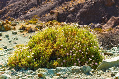 Dry bush growing in the caldera of a El Teide volcano Royalty Free Stock Photo