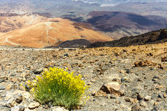 Dry bush growing in the caldera, Tenerife, Spain Royalty Free Stock Photo