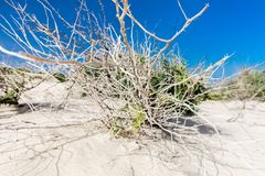 Dry bush in sandy desert. On a bright sunny day with deep blue sky. Wide angle shot Stock Photography