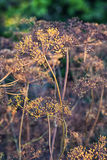 Dry bushes of dill.Selective focus Royalty Free Stock Photos