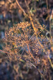 Dry bushes of dill.Selective focus Stock Photos