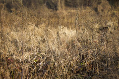 Dry bushes Royalty Free Stock Photography