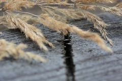 Dry calamagrotis plant on a grey wooden surface Stock Photo
