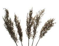 Dry cane. Royalty Free Stock Image